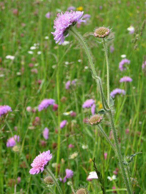 wiesen witwenblume knautia arvensis