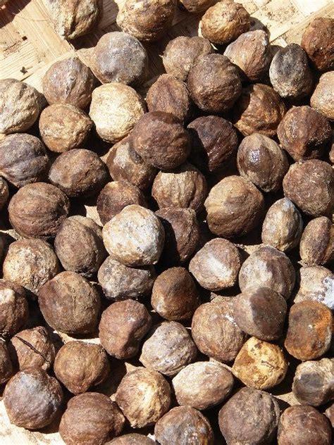 noz da india aleurites moluccana