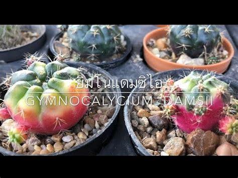 ยิมโนแดมซิไอ-ด่าง Gymnocalycium Damsii ยิมโนแม่ลูกดก ยิมโนลูกชุบ - YouTube