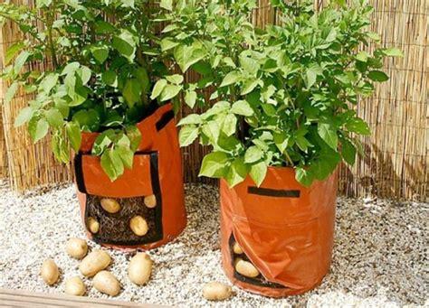 budidaya kentang dengan polybag ayo berkebun