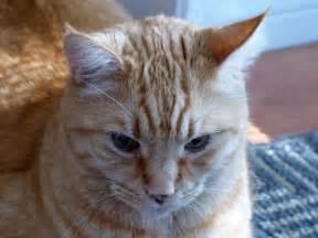 orange tabby cat orange tabby cat free stock photo domain