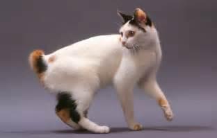 japanese cat breeds japanese bobtail purrfect cat breeds