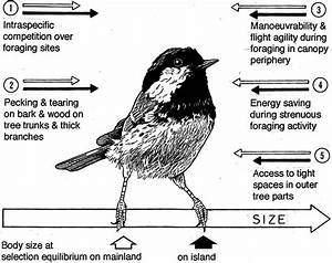 Evolution of enlarged body size of coal tits Parus ater in ...