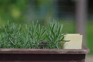 Magnolien Vermehren Durch Stecklinge : lavendel stecklinge ~ Lizthompson.info Haus und Dekorationen
