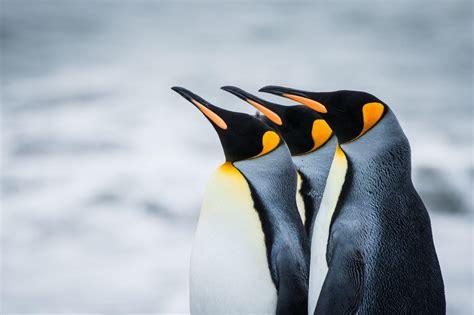 High Definition Penguin