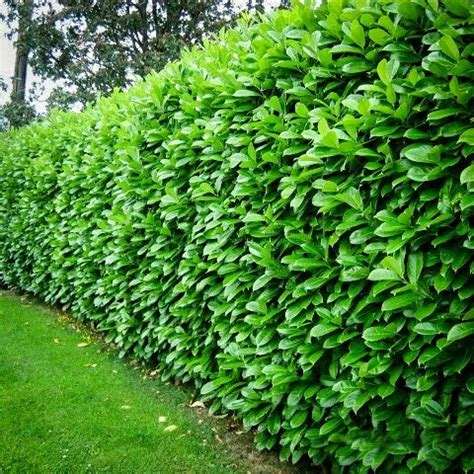 5 chain link fence cherry laurel for sale the tree center