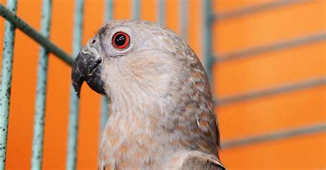 perroquet d afrique ventre rouge