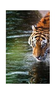 Tiger 4k, HD Animals, 4k Wallpapers, Images, Backgrounds ...