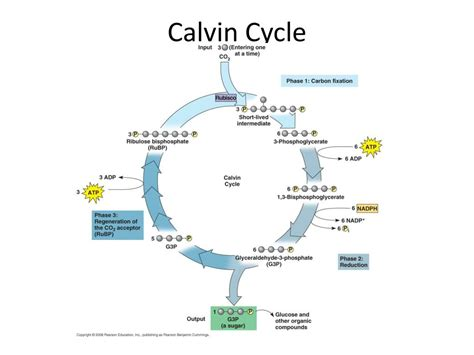 calvin cycle powerpoint  id
