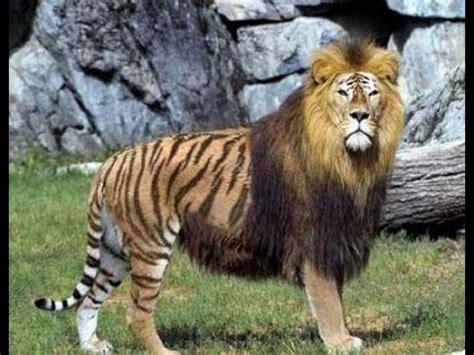 Top Amazing Rare Animal Hybrids Youtube