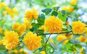 Busch Mit Gelben Blüten : sch ne fr hjahr mit gelben blumen makro zweig stockfoto colourbox ~ Frokenaadalensverden.com Haus und Dekorationen