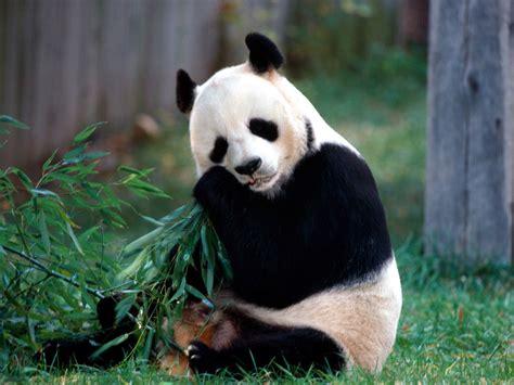 la cuisine de dorian manger de la viande de panda monnaie courante durant l 39 antiquité chine informations