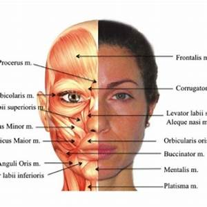 Human Face Anatomy Diagram