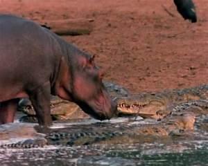 Crocodile Mangeur d'hommes. En Images. Dinosoria