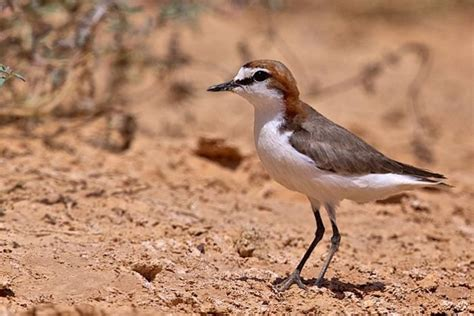 Australian Red Legged Birds