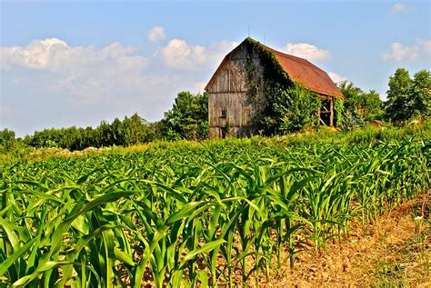plantation home plans corn farm photograph by frozen in photography