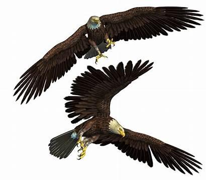 Eagle Eagles Burung Deviantart Bald Elang Roy3d