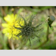 Dandelion Life Cycle  Can You Spot Three Different Phases O… Flickr