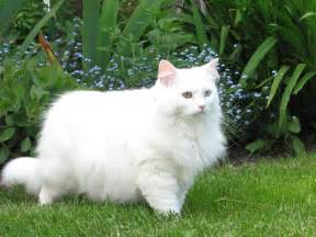 white cat breeds mixed breed white cat picture 2285 pet gallery