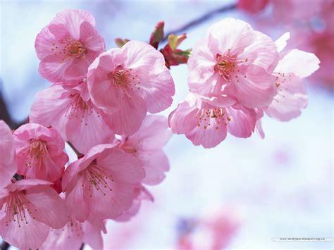 japanese cherry blossom wallpapers wallpapersafari