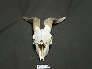 Goat Skull With Horns Texas Hunting  Wildlife Ranch Sg0154