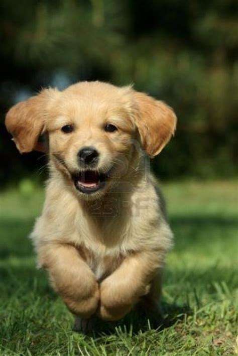 tips  finding  certified breeder  golden retrievers