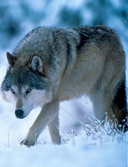 Wolf Idaho Gov Idfg Season Fish Gentleman