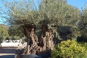 Gros Pot Pour Olivier : jardin avec un olivier d coration jardin avec un olivier barbecue terrasse olivier planter et ~ Melissatoandfro.com Idées de Décoration
