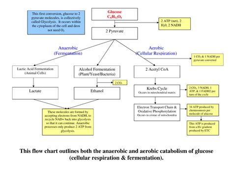 flow chart outlines   anaerobic  aerobic