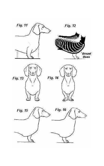 Dachshund Conformation Drawing Correct Miniature Strongly Teckels