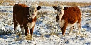Bringing beef cattle through the winter | South East Farmer