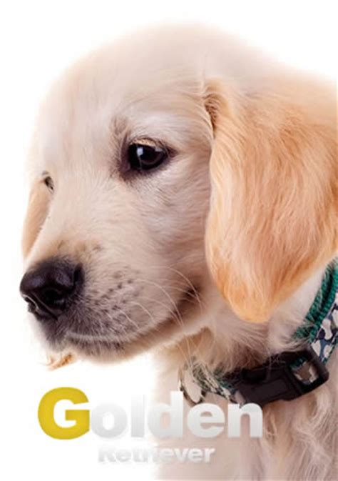 si鑒es de características físicas de los golden retriever web golden retriever