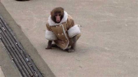 ikea monkey  weaned  human contact sanctuary