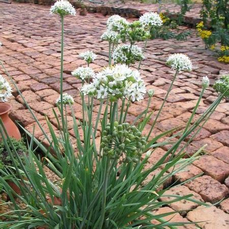 72101 Swallowtail Seeds Coupon by 17 Best Images About Herbs On Allium
