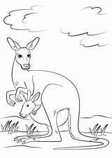 Kangaroo Baby Pouch Coloring Cute Drawing Pages Joey Printable Supercoloring Kangaroos Animals Categories Getdrawings sketch template