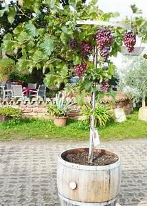 Wie Tief Erde Im Gewächshaus : pflanztipps f r rebst cke leckere eigene tafeltrauben ~ Markanthonyermac.com Haus und Dekorationen