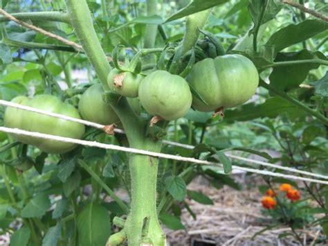 gardening tips    tomatoes