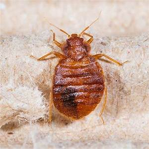 get rid of bed bugs a how to guide for fighting infestations With bell bed bugs