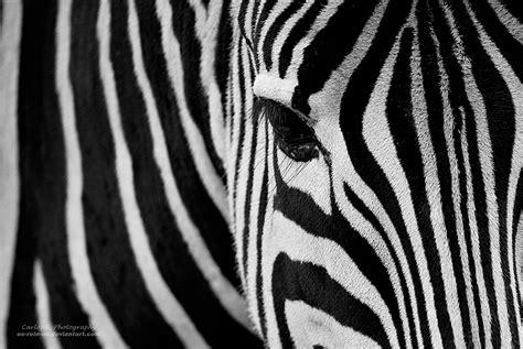 Zebra Bild Ikea by Zebra Stripes By Oo Rein Oo On Deviantart