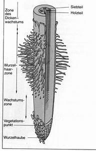 Bau Der Pflanze : die wurzel ~ Lizthompson.info Haus und Dekorationen