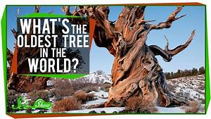 What is the Oldest Tree on Earth ? | Know-It-All