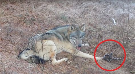 trapped timber wolf  freed   forest service ranger