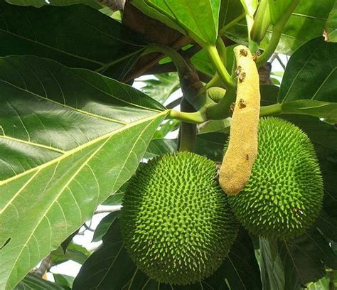 bread nut  world  largest collection  breadfruit