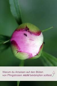 Ameisen Bekämpfen Im Garten : warum ameisen auf pfingstrosen n tzlich sind vrtlarstvo garten garten ideen und garten pflanzen ~ Frokenaadalensverden.com Haus und Dekorationen