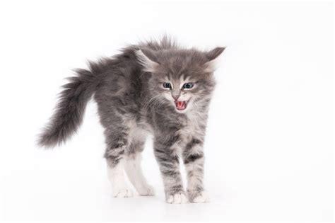 cats hiss cuteness