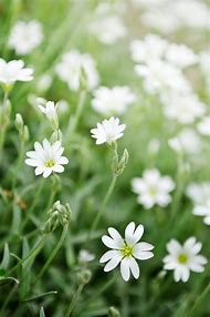 Best 25 ideas about weeds with white flowers find what youll love common weeds with white flowers mightylinksfo