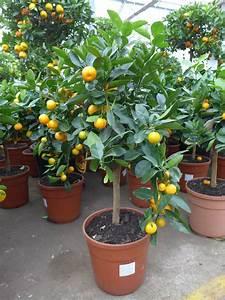 Dünger Für Zitronenbaum : calamondin citrus ca 65 80 cm mitis zitronenbaum orangenbaum veredelt ebay ~ Watch28wear.com Haus und Dekorationen