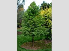 Taxodium distichum Green Whisper® Landscape Plants