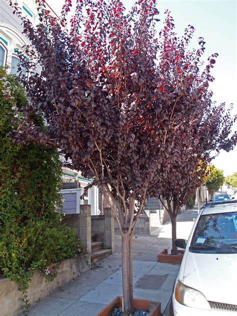 blooming plum tree flowering plum friends of the urban forest