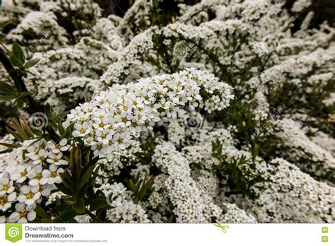 shrub with small white flowers in shrub with small white flowers van houtte a spirea stock image image of gardening fallen